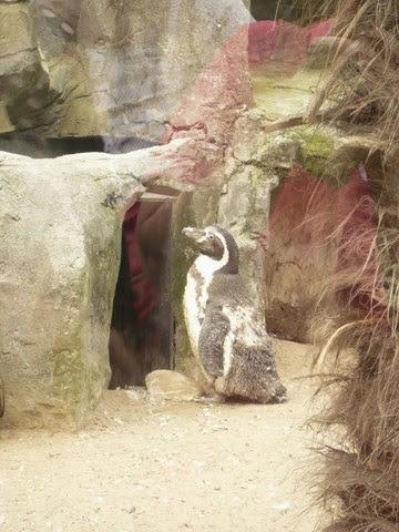 pingui, penguin, humboldt, manchot, chili,
