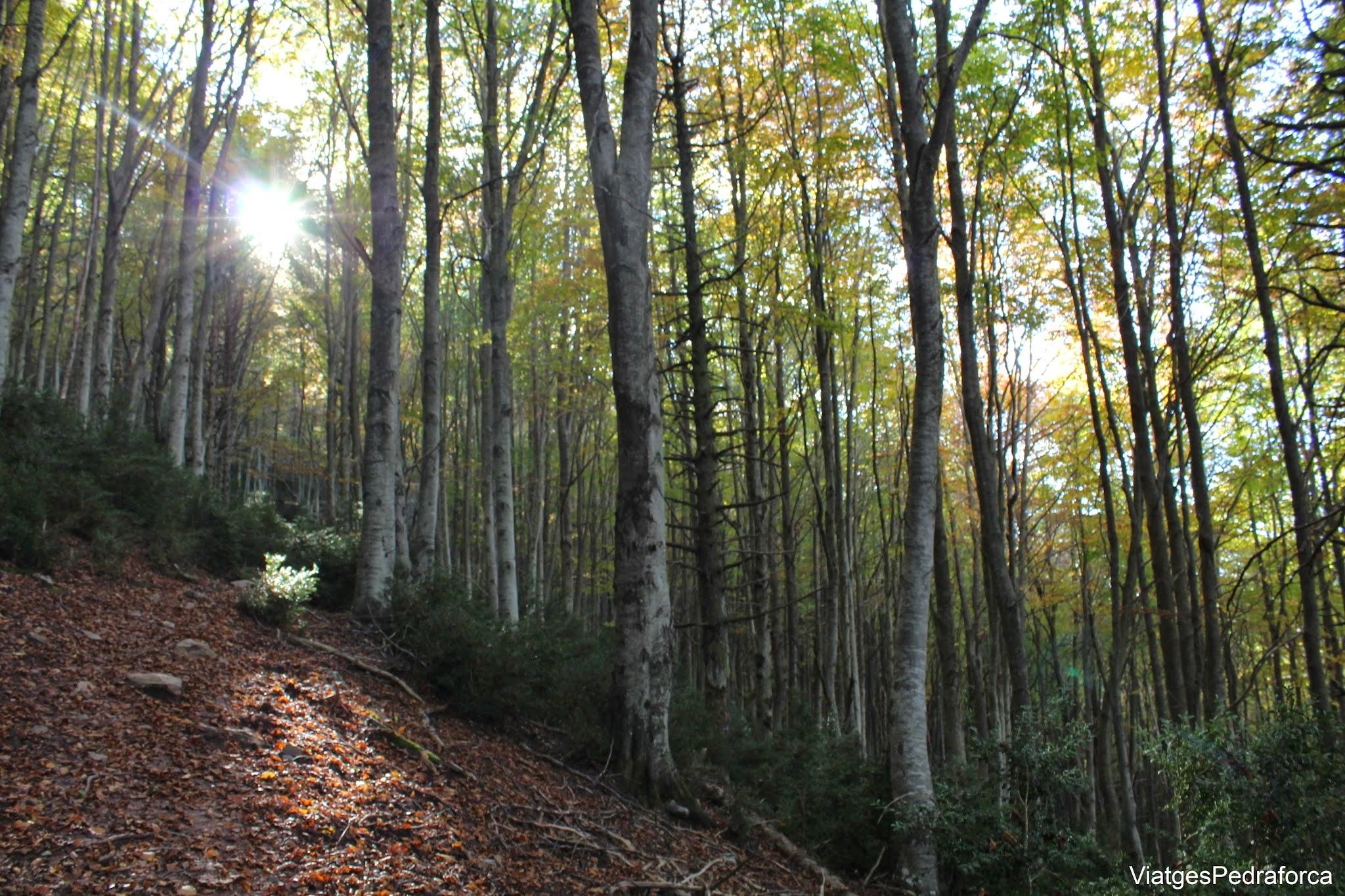 Fageda de Sant Amand a la tardor Bruguera Vall de Ribes Ripolles