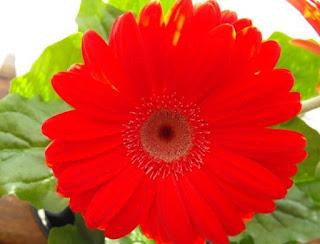 Barberton daisy plant