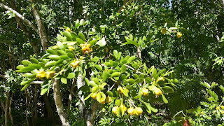 Guaiacum sanctum (Holywood) Bahamas national tree leaves yellow flowers caribbean