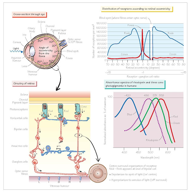 Visual System I: The Eye And Retina, Optical properties of the eye, Retinal anatomy and function Photoreceptors,  Horizontal cells,  Bipolar cells, Ganglion cells, Amacrine cells