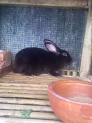 Cara memelihara kelinci hias bagi pemula