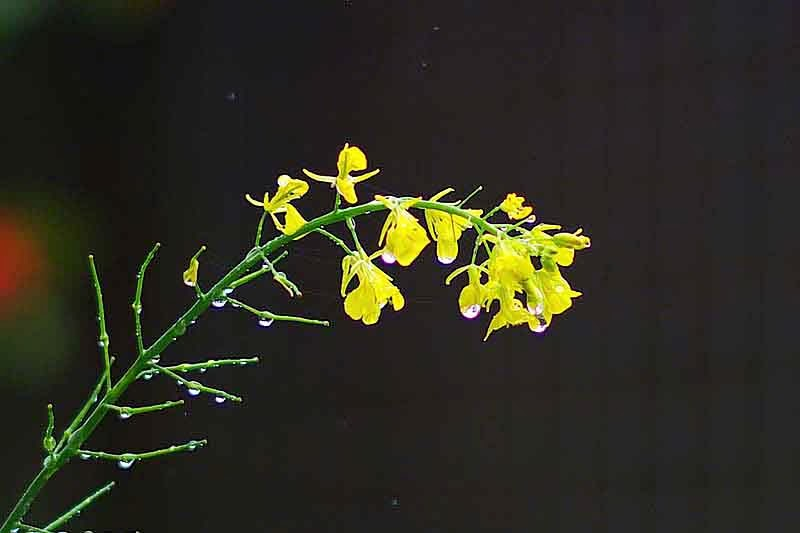 Yellow, Chinese Mustard plant, rain