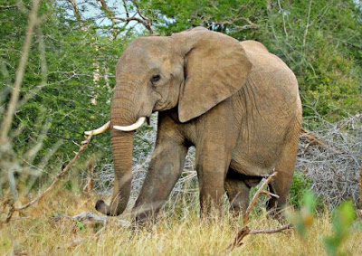 Elephant genome study further hurts Darwinism, supports creation science