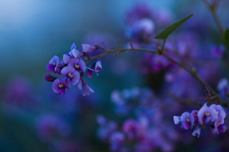 Lavender Flower Wallpaper