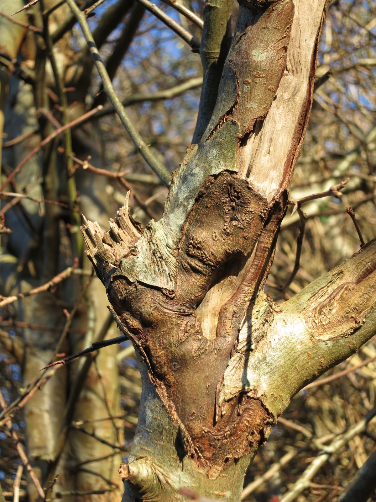 Broken branch, peeled back bark and scars on small tree (hawthorn?) in winter