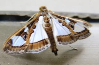 moth zena kennedy independent stampin up demonstrator