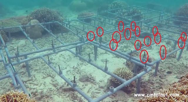 proses transplantasi karang menggunakan pipa