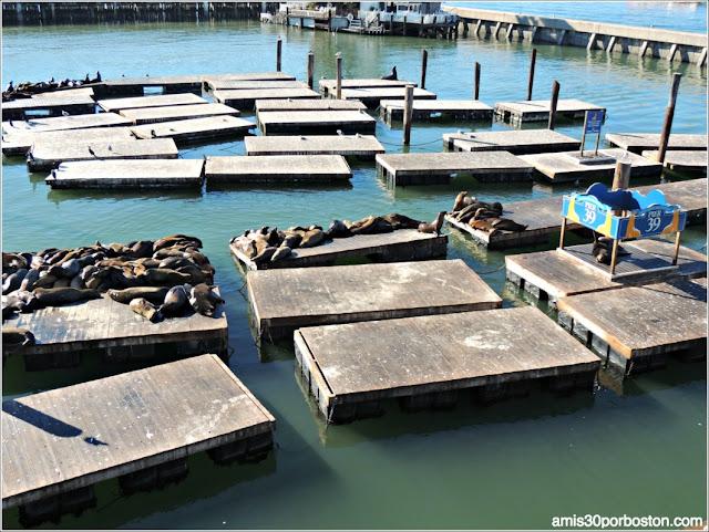 Leones Marinos en Pier 39 del Fisherman´s Wharf