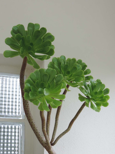 le monde de shuki succulentes ces plantes grasses. Black Bedroom Furniture Sets. Home Design Ideas