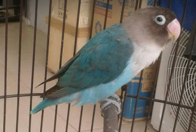 Lovebird Mabung atau Nyulam, molting