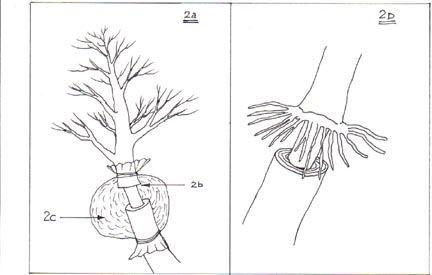 الترقيد الهوائي عمل جذور لغصن من شجرة