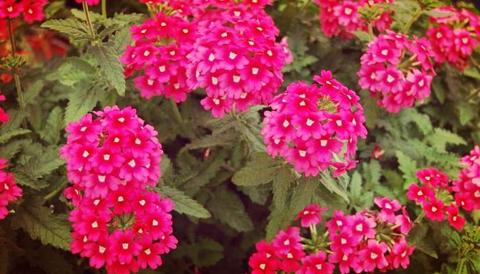 Calibrachoa plantas de jardin
