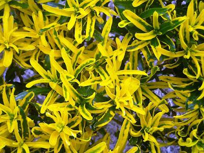 tanaman hias daun puring