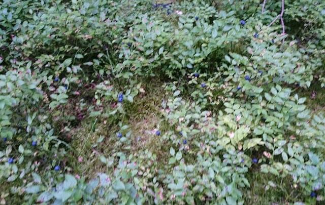 Frankenwald - Heidelbeeren