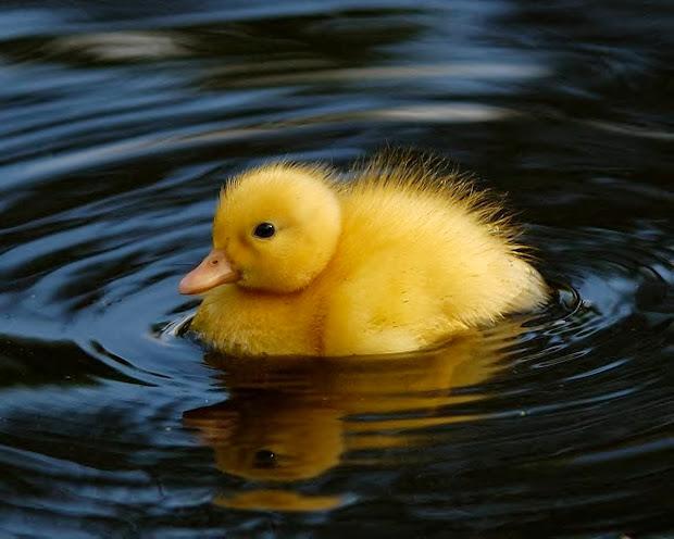 Cute Animal Baby Duck Duckling