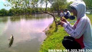 Essen Aroma Sereh Untuk Ikan Nila Harian