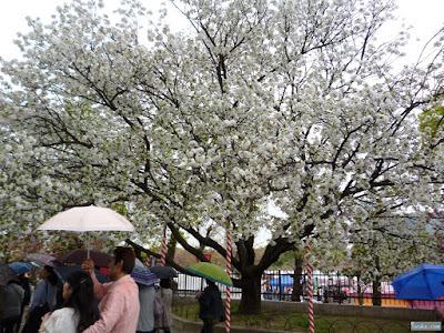 白くて枝ぶりの良い桜