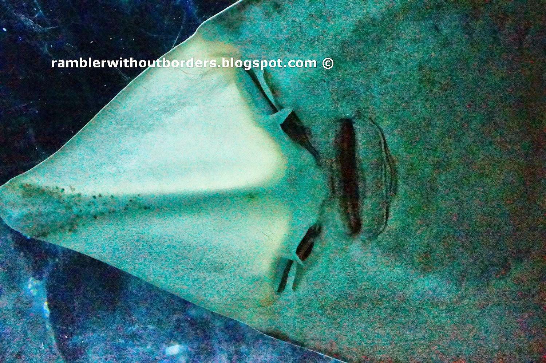 Sting ray, Underwater World, Sentosa, Singapore