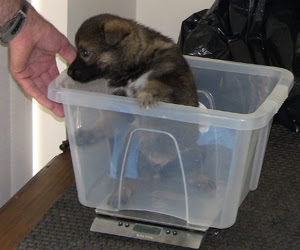 A German Shepherd pup in a small plastic container being weighed using kitchen scales