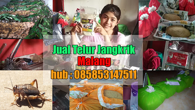 Jual Telur Jangkrik Malang Hubungi 085853147511