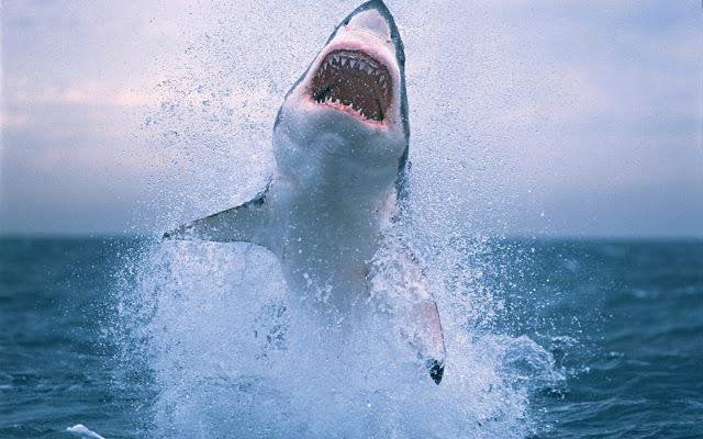 القرش-الابيض-اخطر-حيوان-في-العالم