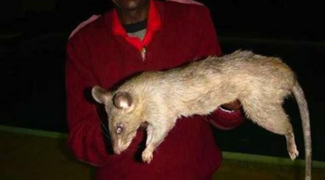 Ibu Ceroboh, Ditinggal Begitu Saja, Bayinya Tewas Berlumuran Darah Dimakan Tikus