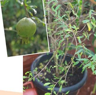 cara menanam delima dalam pot