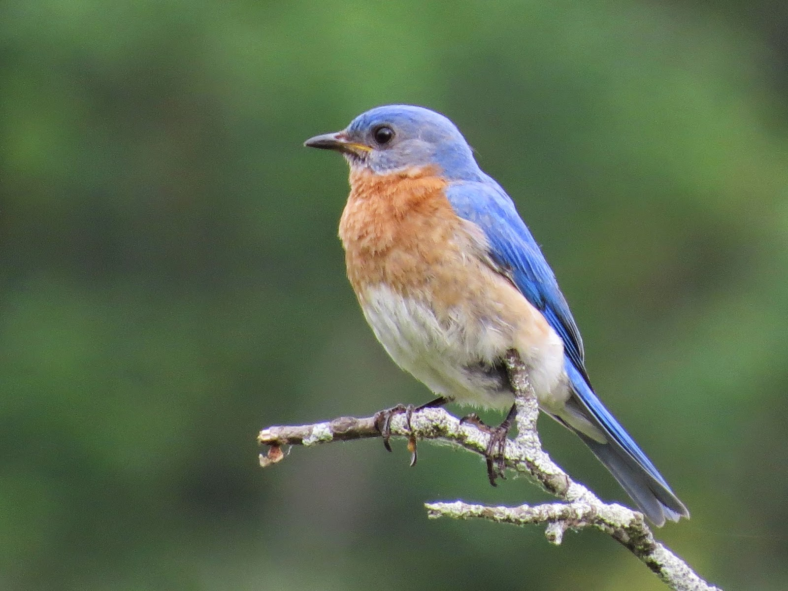 A small colourful thrush the eastern bluebird Sialia sialis is named for its bright blue plumage and its distribution in easte