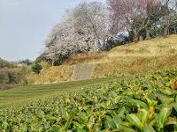 凱旋山の桜と茶