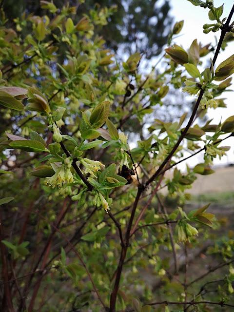 kwitnienie jagody kamczackiej w kwietniu
