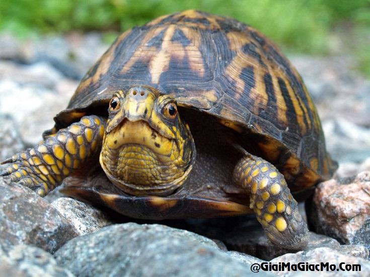 Giải mã giấc mơ thấy con Rùa & ngủ nằm mơ thấy Rùa