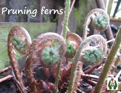 Pruning ferns in spring Green Fingered Blog