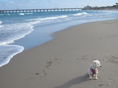 Dog friendly beaches in Florida.  Juno Beach, Jupiter Beach.  Dogs on the beach