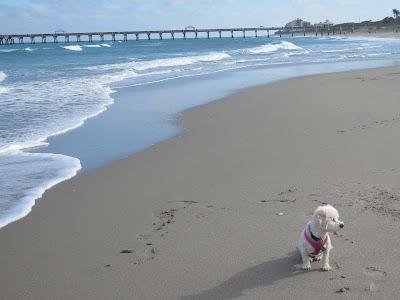 Dog friendly beaches in Florida.  Dogs allowed on Juno Beach, dogs allowed on Jupiter Beach.  Dog friendly Florida beaches