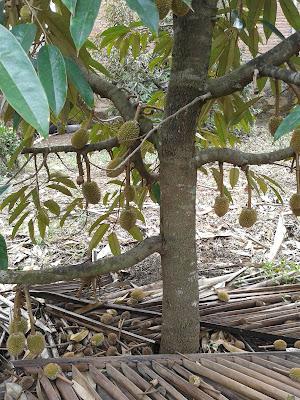 ibit Durian, Bibit Durian Bawor, Bibit Durian Merah, Bibit Durian Musang King, Bibit Durian Unggul, Bibit Durian Super, Bibit Durian Montong , Bibit Durian Musang King Asl, Bibit Durian Malaysia, Bibit Durian Montong Bawor, Jual Bibit Durian, Jual Bibit Durian Merah, Jual Bibit Durian Bawor, Jual Bibit Durian Musang King, Jual Bibit Durian Montong,Jual Bibit Durian Merah , Jual Bibit Durian Siap Berbuah, Jual Bibit Durian Unggul , Jual Bibit Durian Musang King