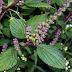 Hương nhu, những tác dụng chữa bệnh hay của cây hương nhu