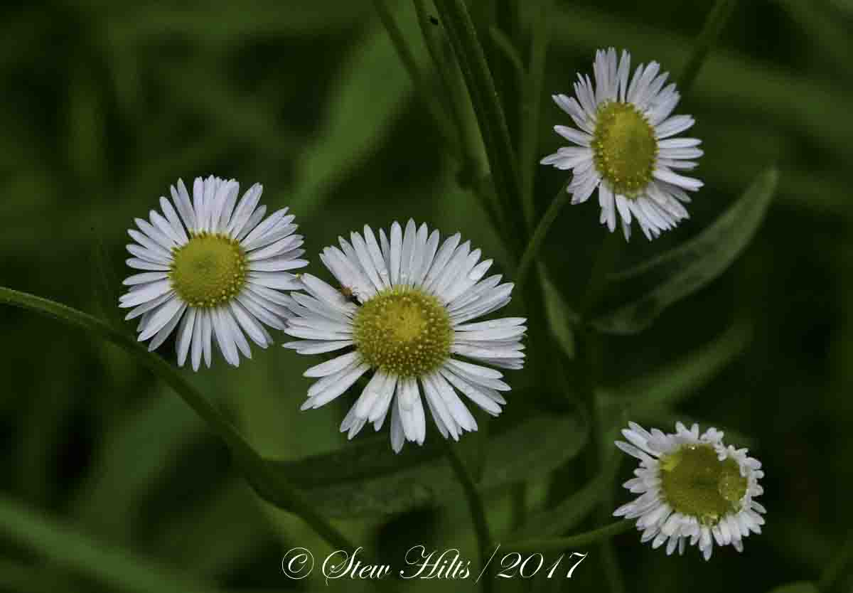 Seasons in the valley furry gnomes adventures flowers of the field the daisy fleabane looks like a tiny daisy with very small white rays around the yellow centre izmirmasajfo