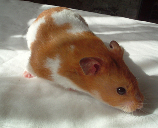 Syrian Hamsters Black And White