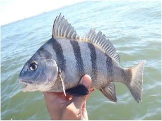 Nama Nama Ikan Laut Dangkal BLACK DRUM ( POGONIAS CROMIS)