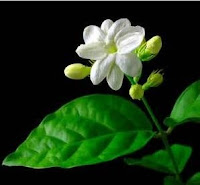 Manfaat tanaman Bunga Melati [Jasminum sambac (L.) Ait]