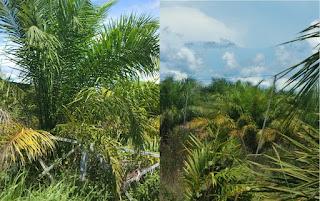 cara mengatasi daun sawit yang menguning,daun sawit menguning,penyakit sait menguning,penyebab daun sawit menguning,pohon sawit menguning,pelepah menguning