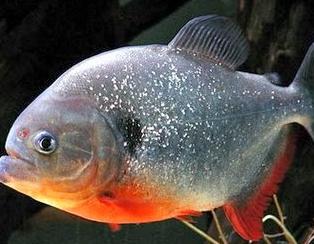 Peluang Bisnis Perikanan Budidaya Ikan Bawal Ikan Dan Laut