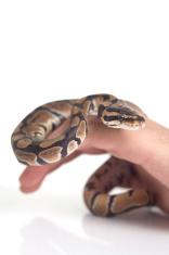 """¿Puede el """"abrazo"""" de una serpiente asfixiar a su presa?"""