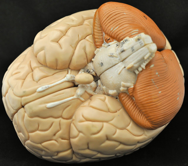 Human Anatomy Lab: Peripheral Nervous System