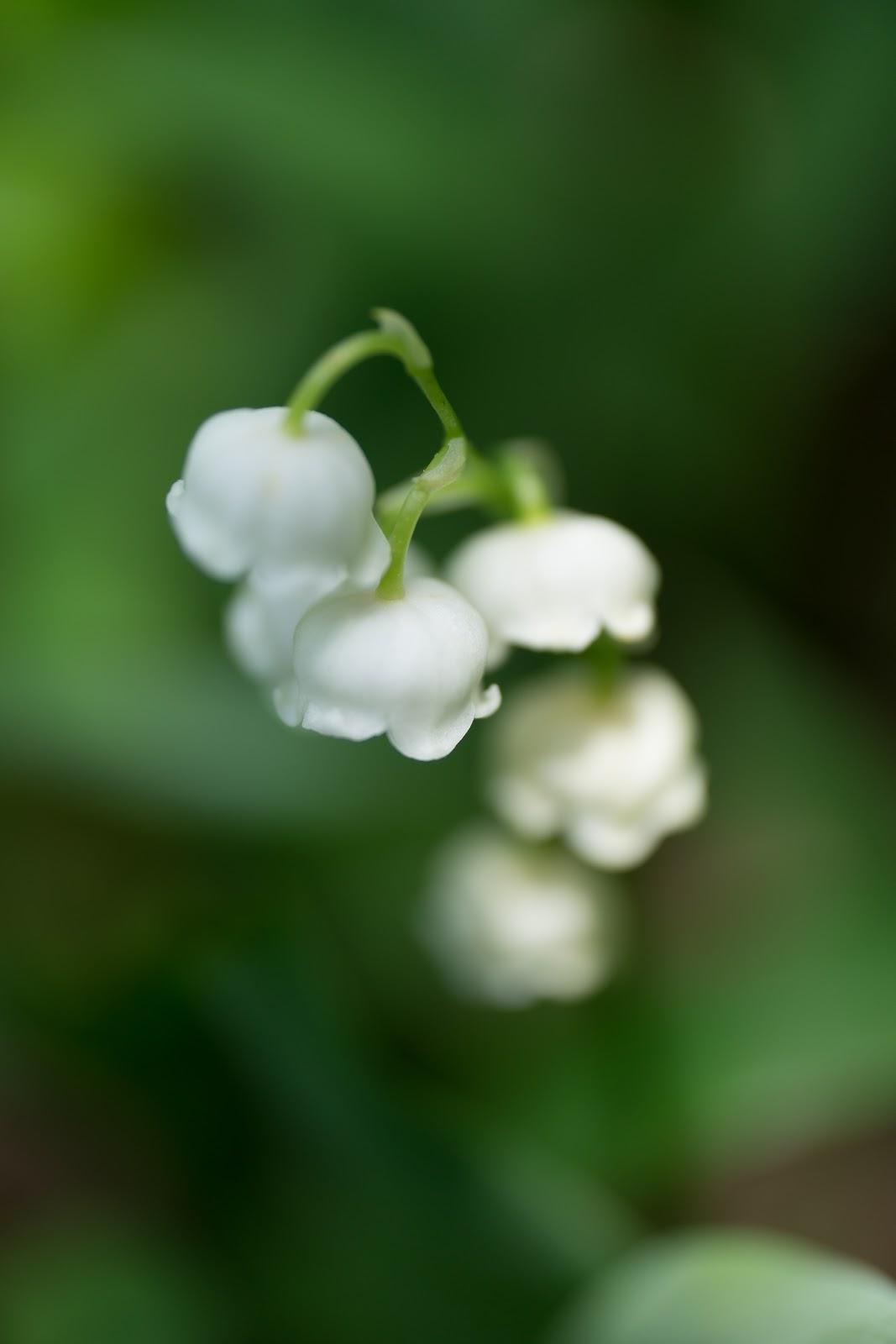 日陰に咲いた鈴蘭の花