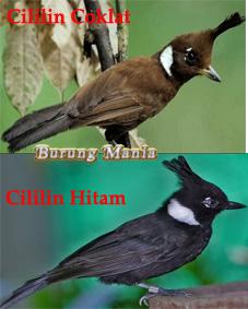 Mengenal Lebih Dekat Burung Cililin