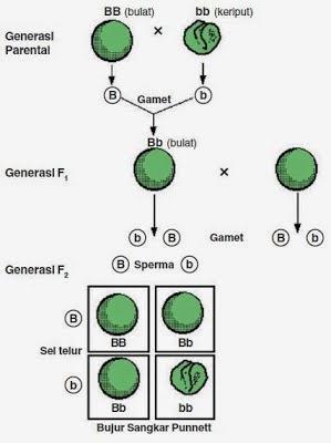 Percobaan Monohibrid dan Hukum Mendel I