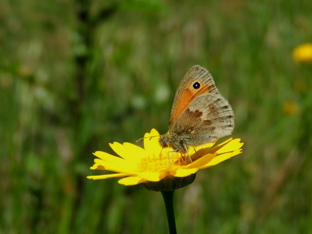 El ninfálido Coenonympha pamphilus