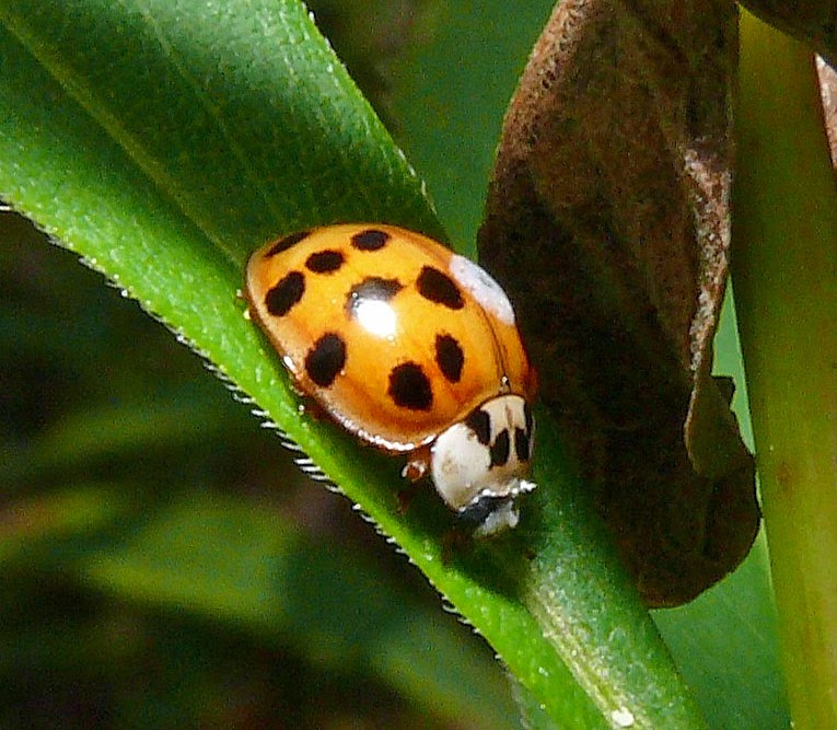 Asian Lady Beetle Life Cycle 114